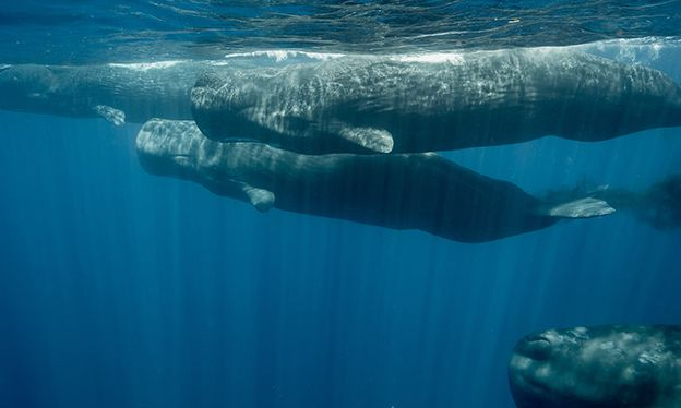 Underwater with Sri Lanka's sperm whales – in pictures